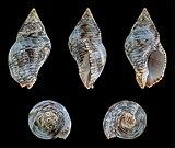 Gemophos viverratus 01.JPG