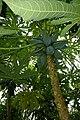 Genf-Botanik 08 papayer.JPG