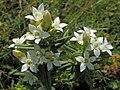 Gentianella germanica (21742840782).jpg