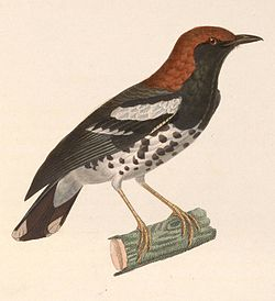 Geokichla interpres 1838.jpg