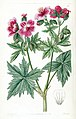 Geranium erianthum by Sarah Ann Drake. Edwards's Botanical Register vol. 28, t. 52 (1842).jpg
