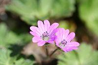 Geranium molle-02 (xndr)