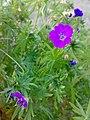 Geranium sanguineum 03.jpg
