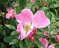 Gfp-pink-flower.jpg