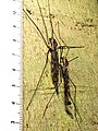 Giant Crane Flies (29480196575).jpg