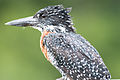 Giant Kingfisher 2338008631.jpg