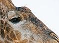 Giraffe (6190372684).jpg