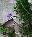 Globularia cordifolia Bohinj.JPG