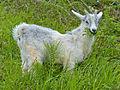 Goat Kid eating ferns (14329203044).jpg