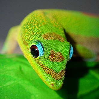 Scale (anatomy) - Brightly colored scales on a gold dust day gecko