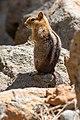 Golden-mantled ground squirrel near Lake Almanor-2403.jpg