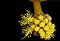 Golden Wattle (Acacia pycnantha) (19808427858).jpg