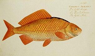 Poisson Rouge Wikipédia