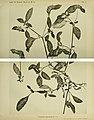 Gomphrena platycephala.jpg