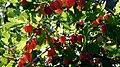 Gooseberry bush.jpg