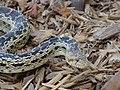 Gopher Snake (9096387429).jpg