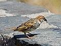 Gorrion moruno-Passer Hispaniolensis (♂) (7077304923).jpg