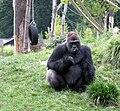 Goryl Opole Zoo.jpg