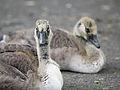 Goslings (14506449986).jpg