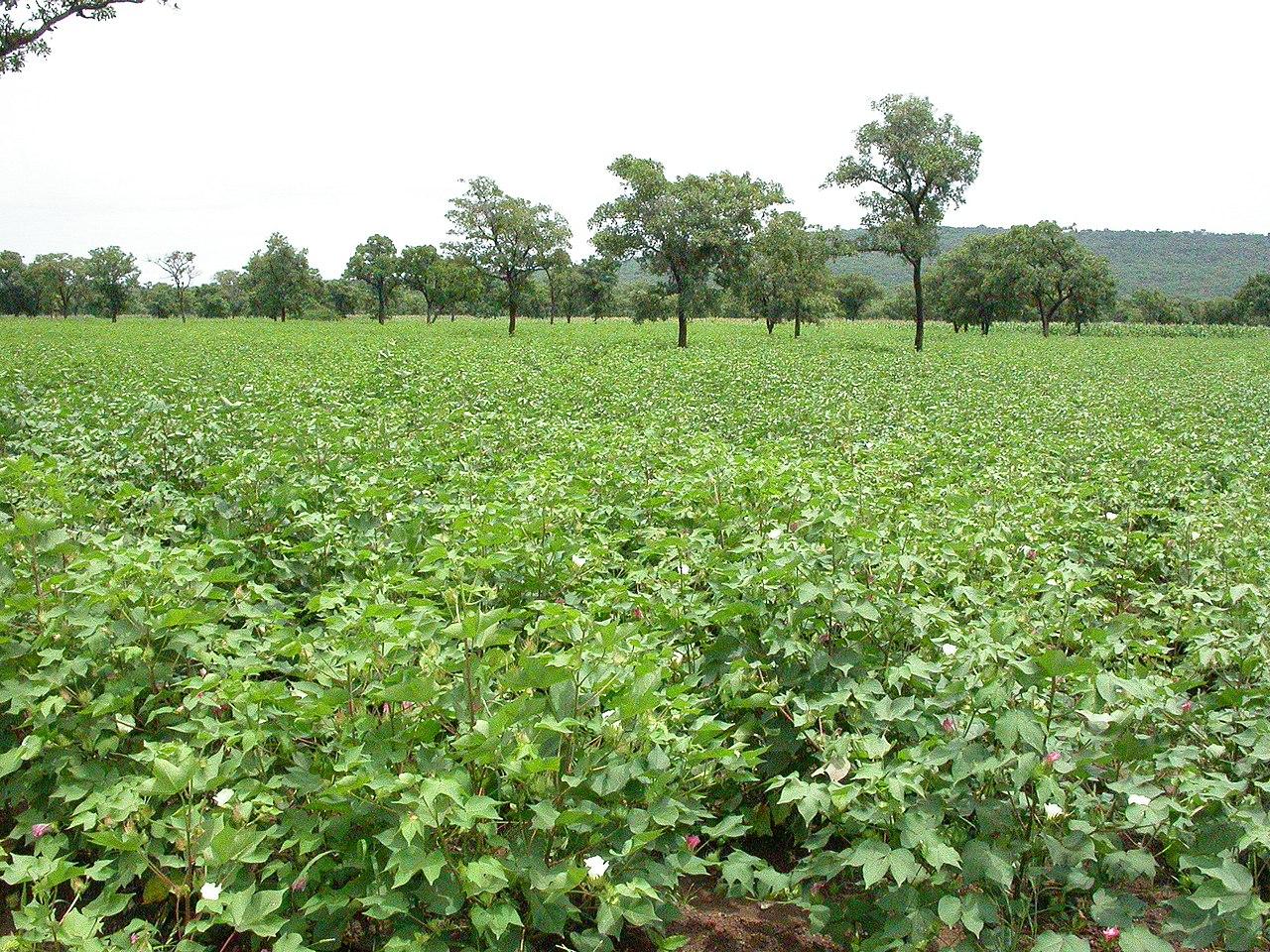 Ladang kapas di Benin utara.