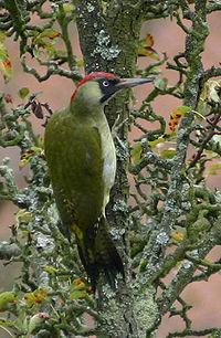 Grünspecht Picus viridis