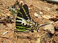 Graphium antiphates - Five-bar Swordtail.jpg