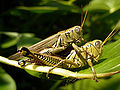 Grasshopper at MGSP.jpg