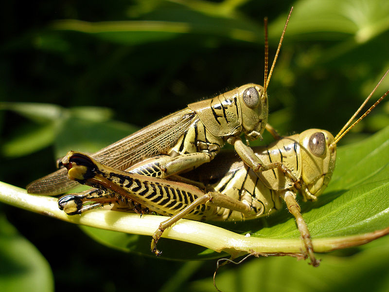 What Grasshoppers Eat And Drink