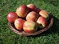 Gravensteiner äpplen i korg.jpeg