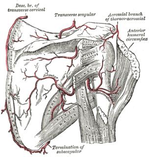 Circumflex scapular artery Artery of the upper body