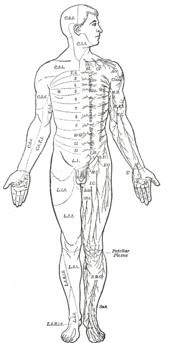 Nervous system - Area of the human body surface innervated by each spinal nerve