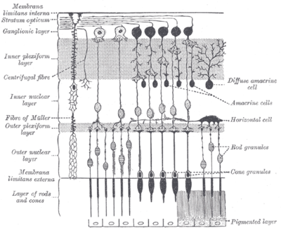 Plan of retinal neurons.