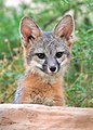 Gray Fox Kit.jpg