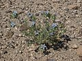 Great Basin woollystar, Eriastrum wilcoxii (16048731648).jpg