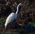Great egret (12215).jpg