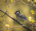 Great tit (33503927690).jpg