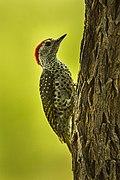 Green-backed Woodpecker - Malawi S4E3705.jpg