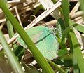 Green Hairstreak - Flickr - gailhampshire.jpg