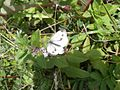 Green Veined White (Pieris napi) (7580754648).jpg