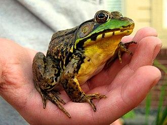Lithobates clamitans - Image: Greenfrog