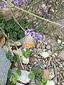 Grenchen - Maniola jurtina on purple flowers.jpg