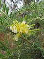 Grevillea alpina 6.jpg