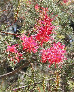 <i>Grevillea georgeana</i> species of plant
