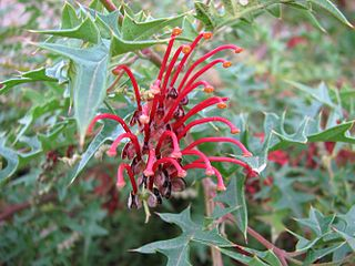 <i>Grevillea montis-cole</i> species of plant