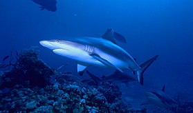 Grey reef shark.jpg
