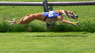 Greyhound racing - Greyhound during a race.