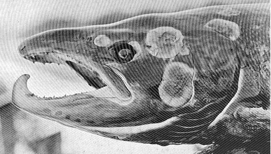 Mature salmon with fungal disease Grilse001.jpg