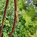 Große Heidelibelle Sympetrum striolatum 200724 164903.jpg