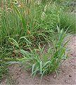 Groene naaldaar plant (Setaria viridis).jpg