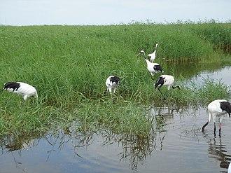 Zhalong Nature Reserve - Image: Grus japonensis Zhalong